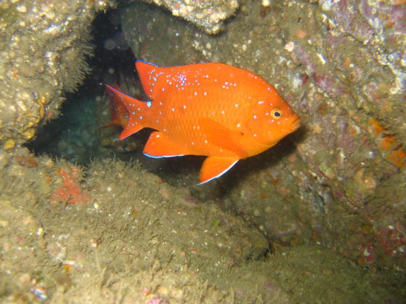 Garabaldi at Harbor Reef