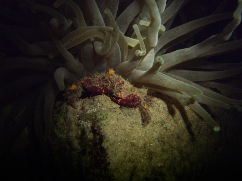 Speck-Claw Decorator Crab in Bonaire