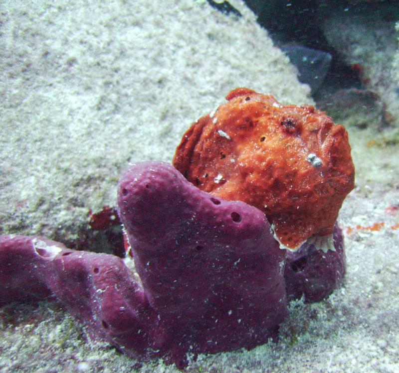 Frogfish in St. Croix