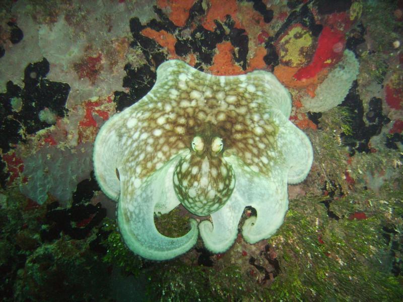 Common Octopus on Pier in St. Croix