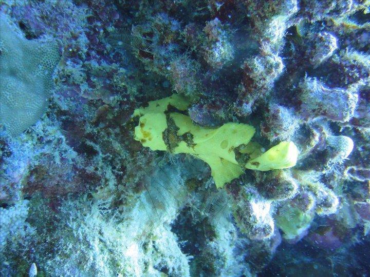 Frog Fish - Kona