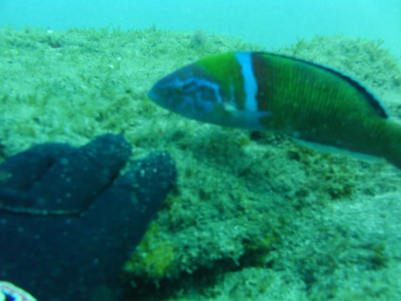 greenfish(Thalassoma pavo)