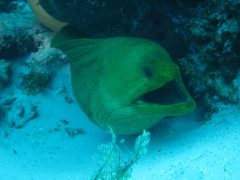 Green Moray at Cedral Shallows, Cozumel 2010