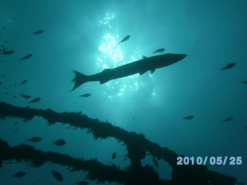 Key Largo, barracuda near USS Spiegel Grove