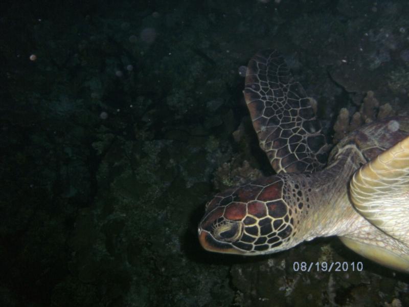 big a$$ turtle
