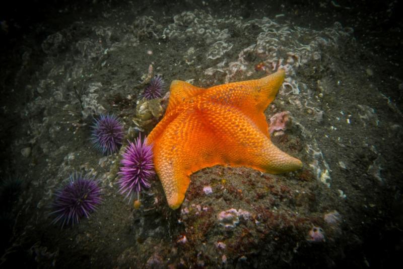 Anacapa Island - Bat Star
