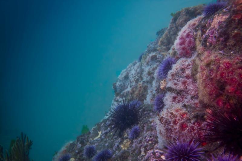 Anacapa Island - Corynactis Club-Tipped Anemone