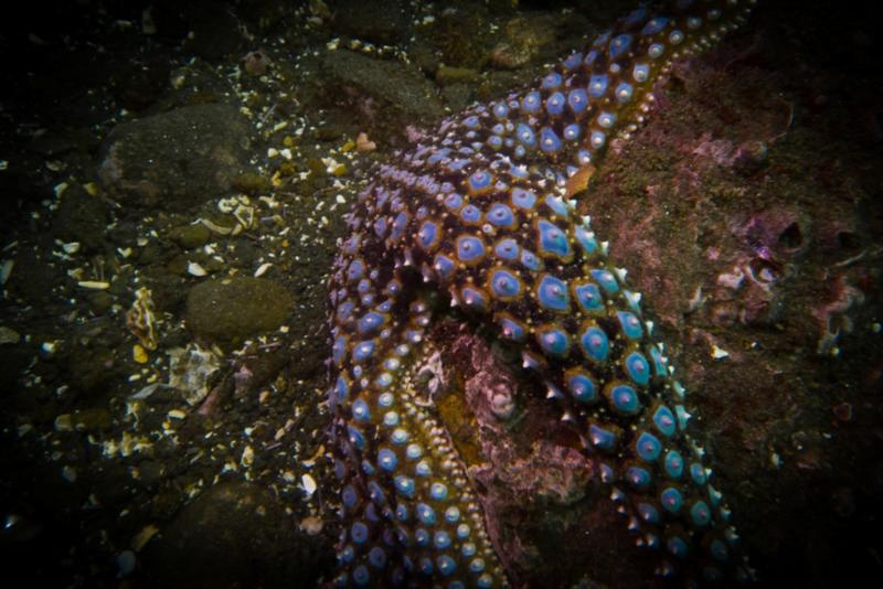Anacapa Island - Giant Spined Star