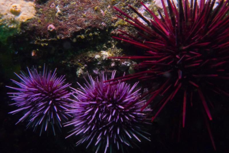 Anacapa Island - Sea Urchins