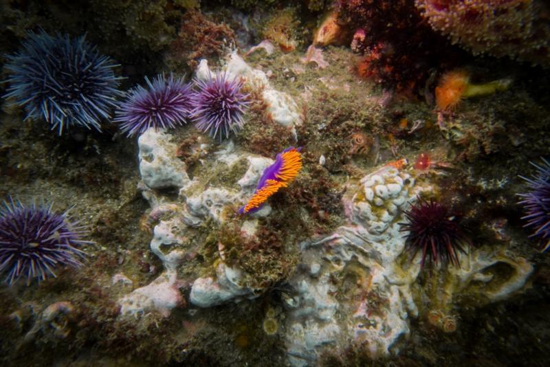 Anacapa Island - Spanish Shawl Nudibranchs