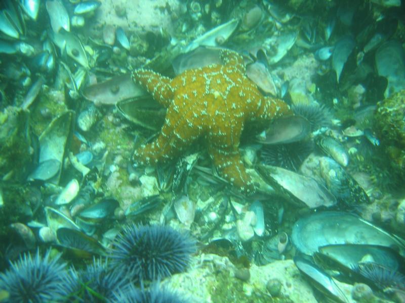 Satisfied Starfish, Laguna Beach