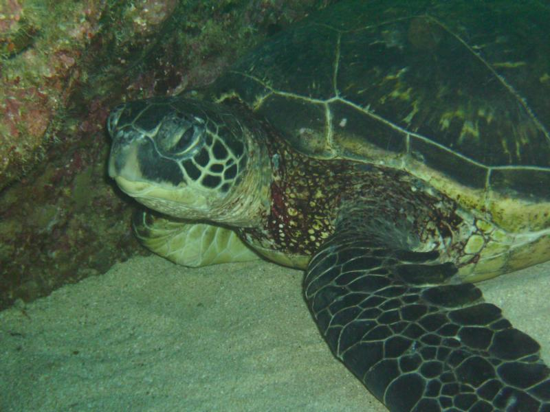realy big turtle