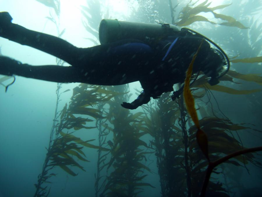Diver through the kelp