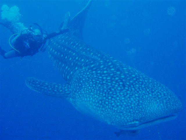 BMK & Whale Shark