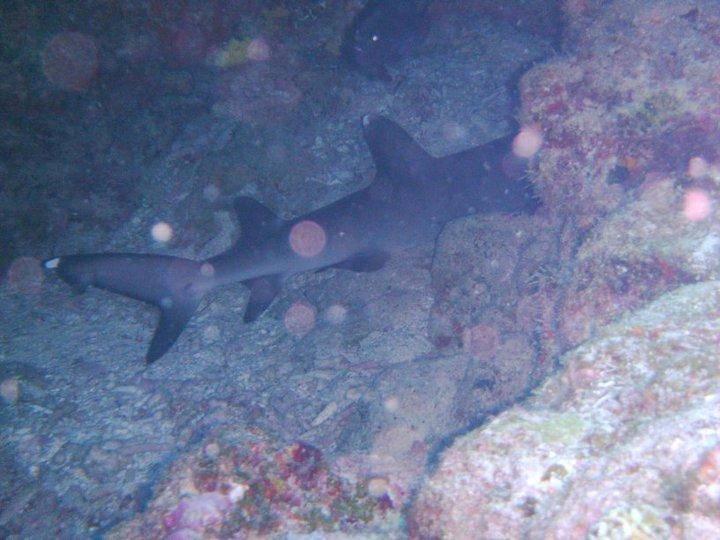 White tip shark in Okinawa