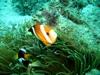 Clown Fish01