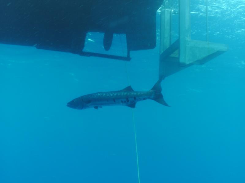 6 foot Barracuda off dive lift, Hatteras, NC August 13, 2011, Capt. JT Dive Boat