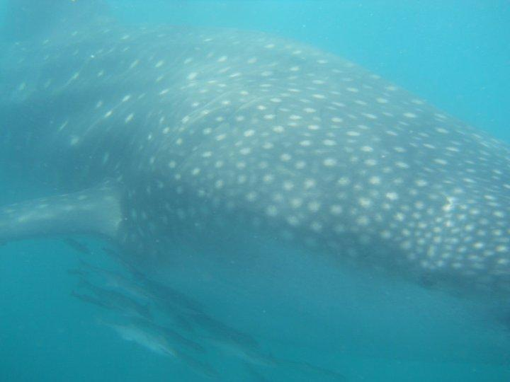 An amazing experience... Up close and personal with a Whale Shark in the Indian Ocean :o)