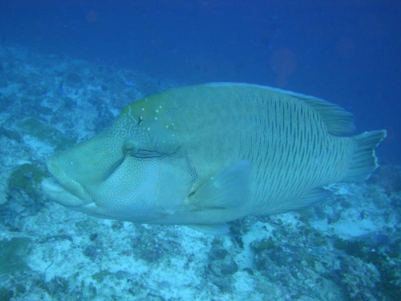 Giant Napolean Wrasse came to say hello in Maldives