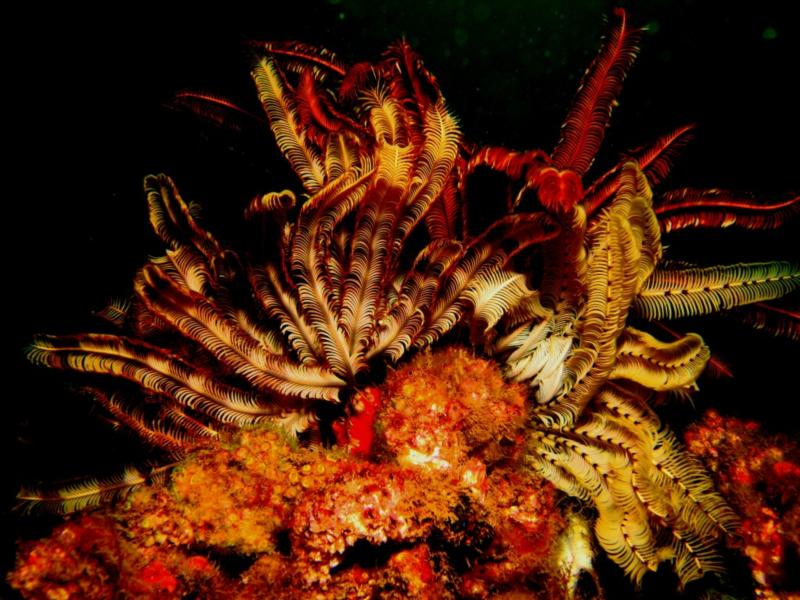 Underwater Fire... More colourful Crinoids on the wreck