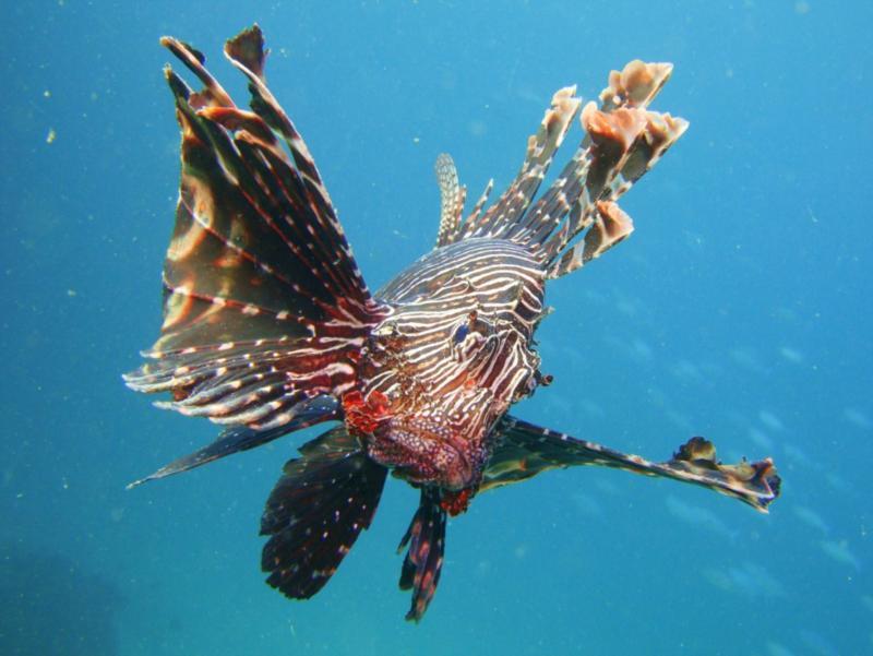 Lion Fish, Ras Lima