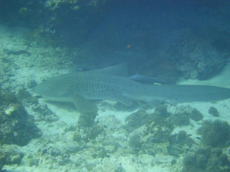 Leopard Shark, Daymaniyat Islands, Oman