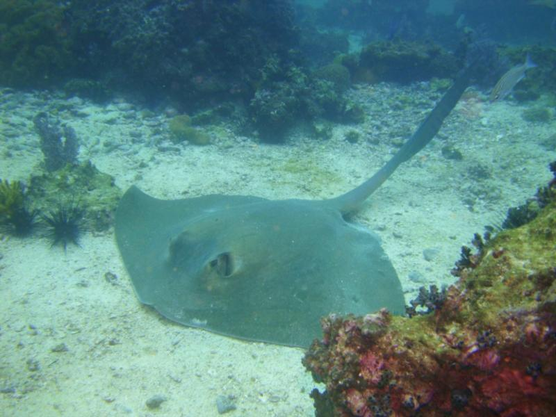 Giant Cowtail Ray, Daymaniyat Islands, Oman