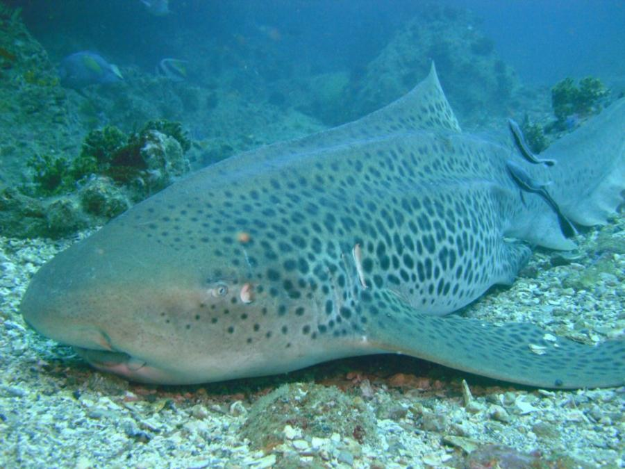 Leopard Shark in Iranian waters... Wicked drift dive in the Straight of Hormuz :oD