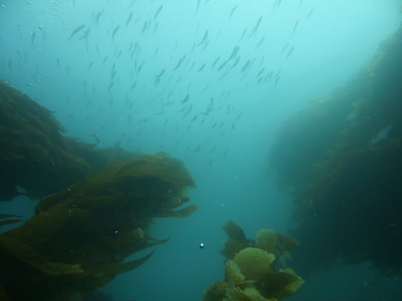 Looking up through a column of kelp