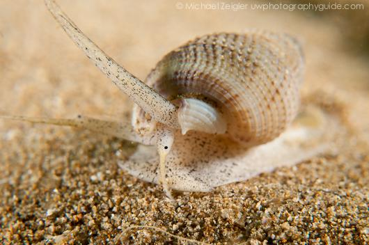 Mud Snail - Palos Verdes, CA