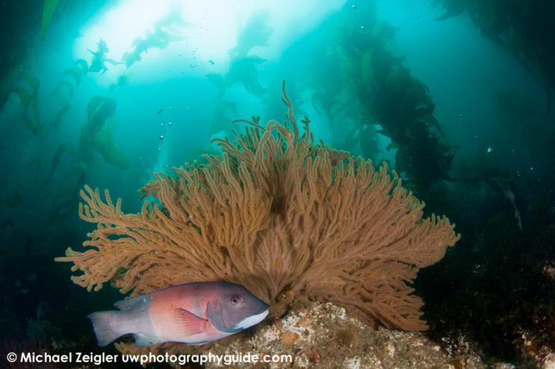 Sheephead and gorgonian - Catalina Island, CA