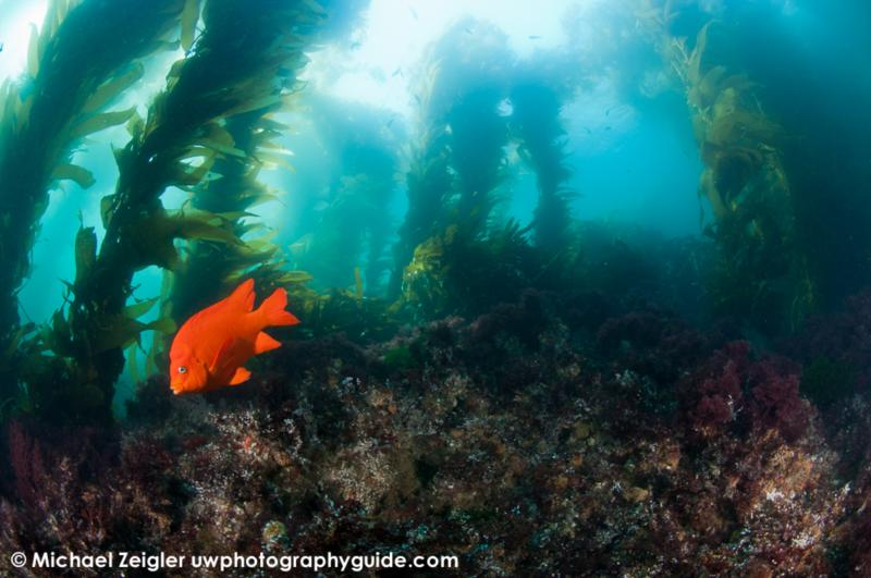 Garibaldi in the kelp - Catalina Island, CA