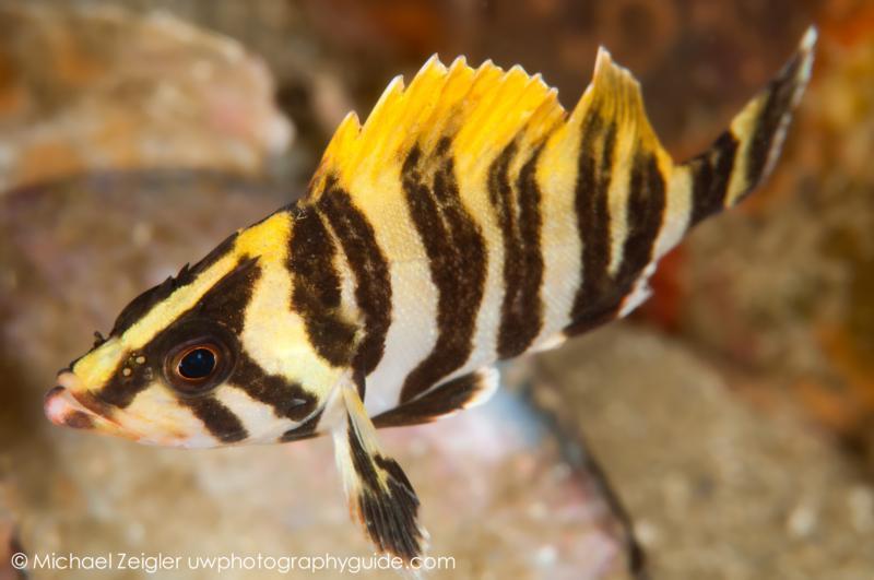 Juvenile Treefish - Laguna Beach, CA