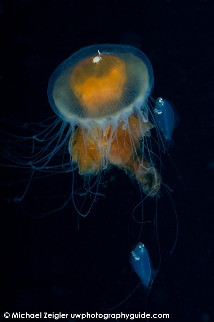 Fried-egg jelly & friends - Blue water dive off the coast of Palos Verdes, CA