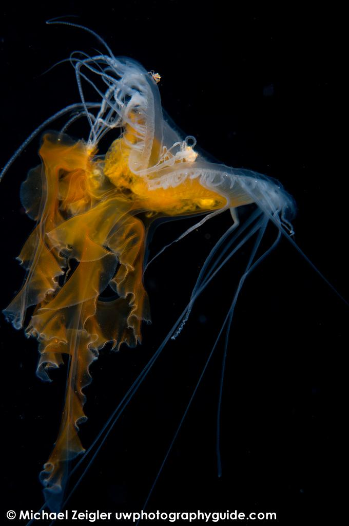 Fried-egg jelly - Blue water diving off the coast of Palos Verdes, CA