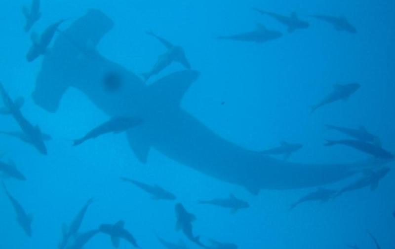 Galapagos, big Hammerhead