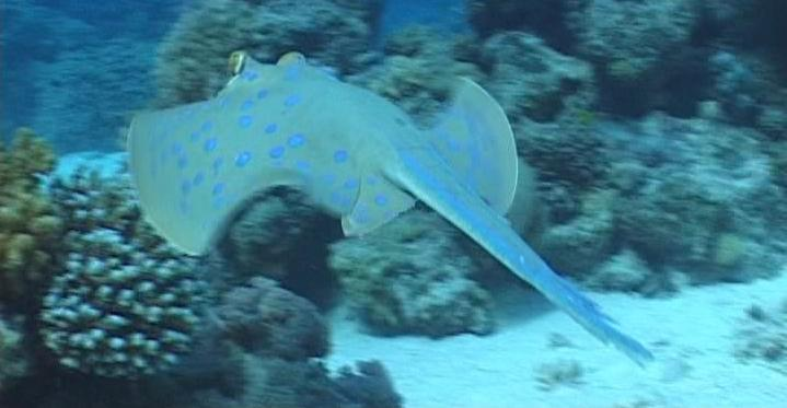 blue spotted Ray on the move