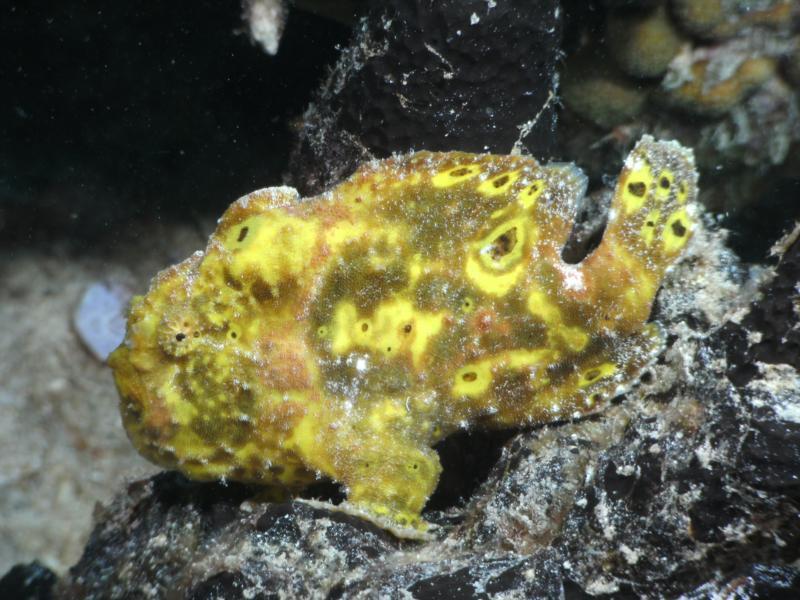 Frogfish - Bonaire