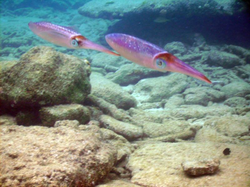 Pair of Reef Squid - Bonaire