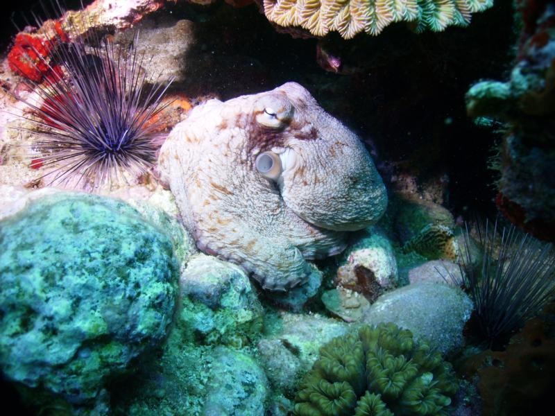 Octopus w'Spiny Urchins