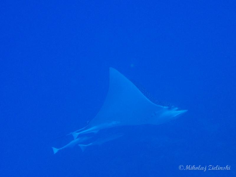Cozumel - I spoted a spotted (eagle ray)