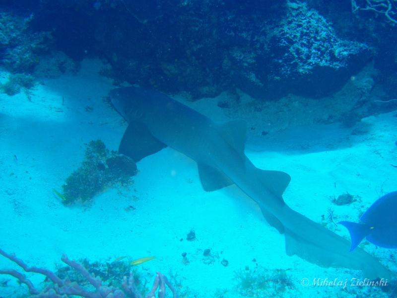 Cozumel - Nurse shark