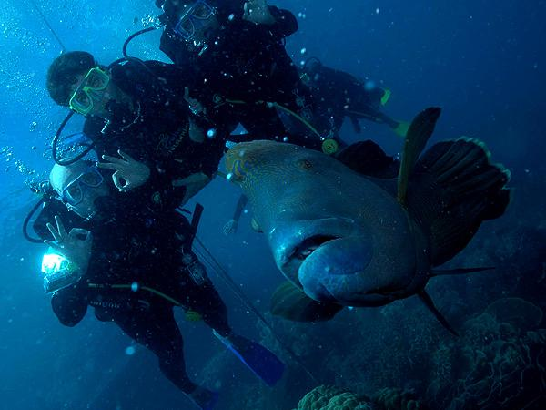 Maori Wrasse Great Barrier Reef 2009