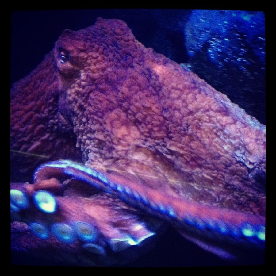 Giant Pacific Octopus Long Beach, Ca
