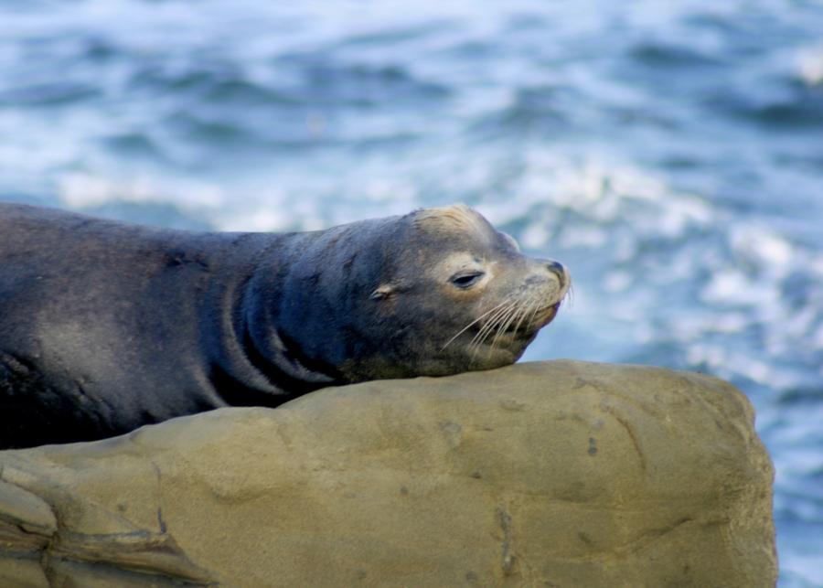 Sea Lion La Jolla Cove