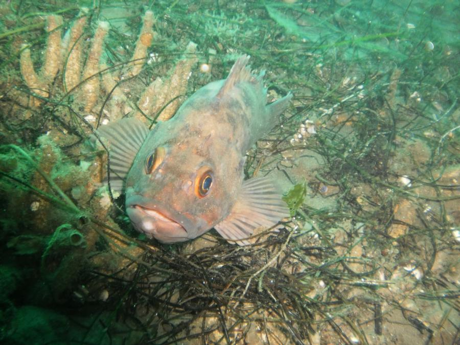 Rock Fish La Jolla Shores
