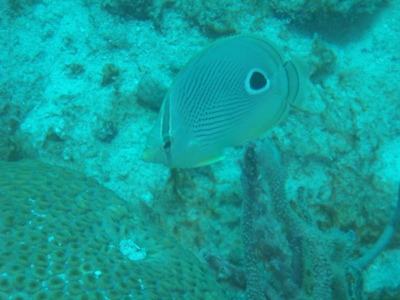 I think this is called a Butterfly Fish