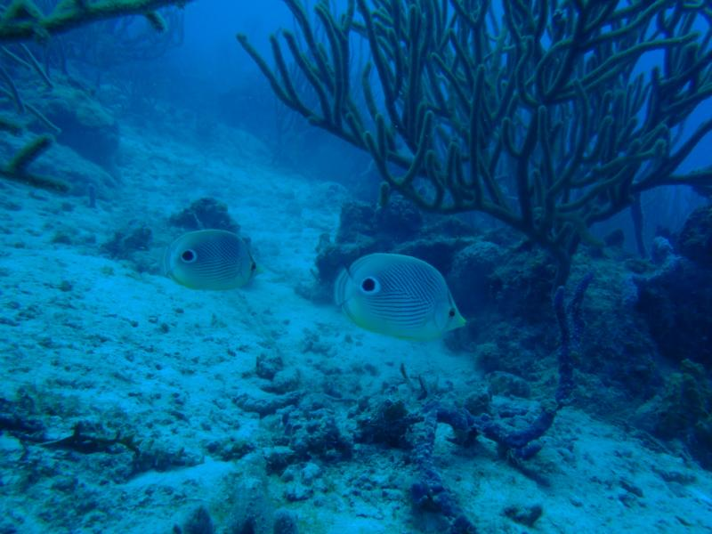 Another Photo Of Us Again. 2 Butterfly Fish