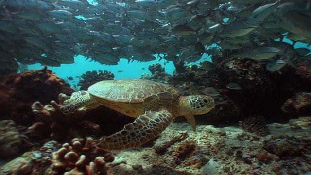 Green turtle among travelly