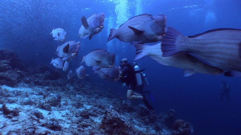 Hump-head parrotfish